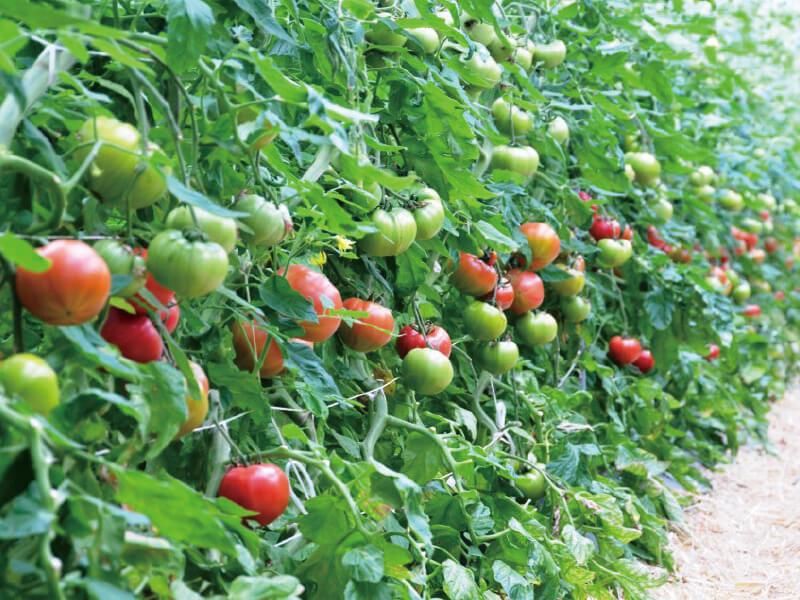 奇蹟のトマトStar Ruby