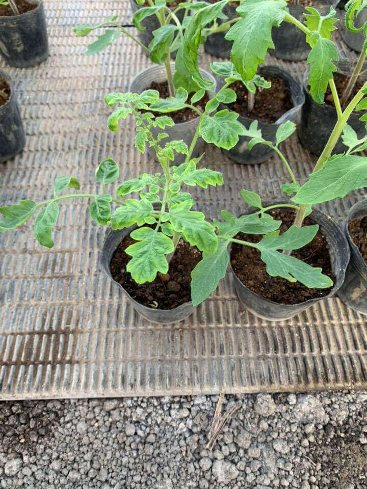 古賀とまと農園 トマト苗